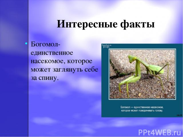 Интересные факты Богомол-единственное насекомое, которое может заглянуть себе за спину.