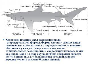 Хвостовой плавник акул разнолопастный, гетероцеркальной формы. Форма хвоста у ра