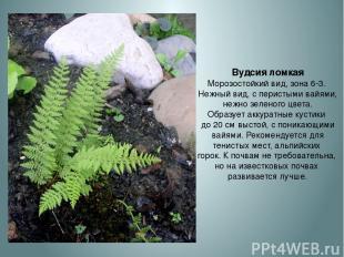 Вудсия ломкая Морозостойкий вид, зона 6-3. Нежный вид, с перистыми вайями, нежно