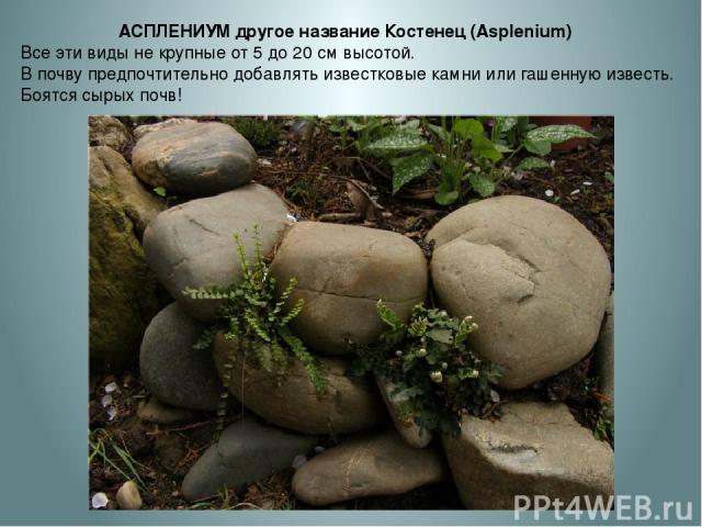 АСПЛЕНИУМ другое название Костенец (Asplenium) Все эти виды не крупные от 5 до 20 см высотой. В почву предпочтительно добавлять известковые камни или гашенную известь. Боятся сырых почв!