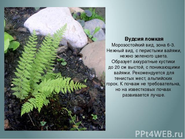 Вудсия ломкая Морозостойкий вид, зона 6-3. Нежный вид, с перистыми вайями, нежно зеленого цвета. Образует аккуратные кустики до 20 см выстой, с поникающими вайями. Рекомендуется для тенистых мест, альпийских горок. К почвам не требовательна, но на и…