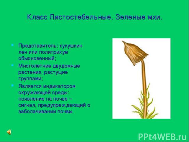 Класс Листостебельные. Зеленые мхи. Представитель: кукушкин лен или политрихум обыкновенный; Многолетние двудомные растения, растущие группами; Является индикатором окружающей среды: появление на почве – сигнал, предупреждающий о заболачивании почвы.
