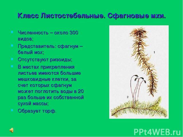 Класс Листостебельные. Сфагновые мхи. Численность – около 300 видов; Представитель: сфагнум – белый мох; Отсутствуют ризоиды; В местах прикрепления листьев имеются большие мешковидные клетки, за счет которых сфагнум может поглотить воды в 20 раз бол…