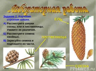 Задание 2: Изучение строения шишек. А) Рассмотрите шишки сосны, ели и лиственниц