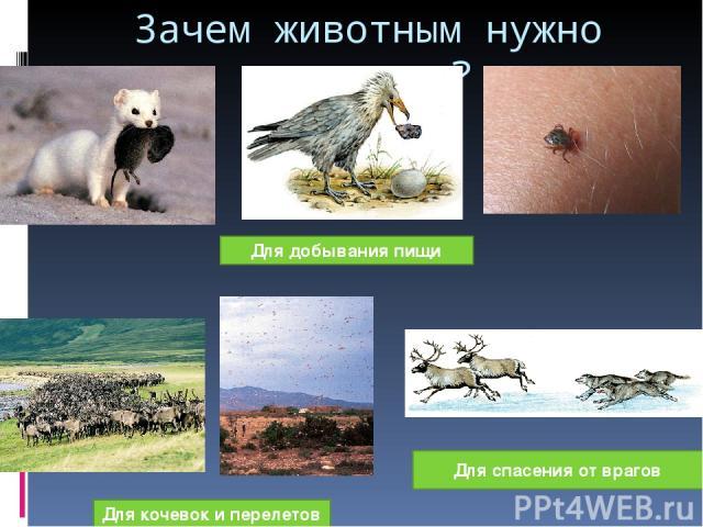 Зачем животным нужно движение? Для добывания пищи Для кочевок и перелетов Для спасения от врагов