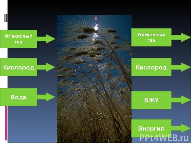 Углекислый газ Кислород Вода БЖУ Углекислый газ Кислород Энергия