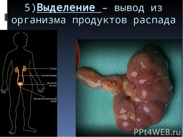 5)Выделение – вывод из организма продуктов распада