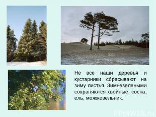 Не все наши деревья и кустарники сбрасывают на зиму листья. Зимнезелеными сохран