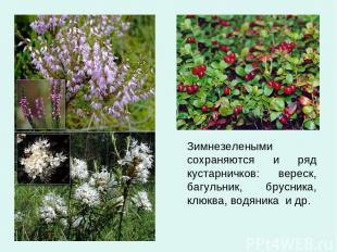 Зимнезелеными сохраняются и ряд кустарничков: вереск, багульник, брусника, клюкв