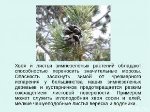 Хвоя и листья зимнезеленых растений обладают способностью переносить значительны