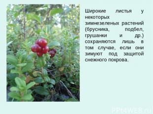 Широкие листья у некоторых зимнезеленых растений (брусника, подбел, грушанки и д