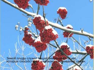Зимой плоды служат пищей зимующим птицам, которые способствуют широкому рассеива