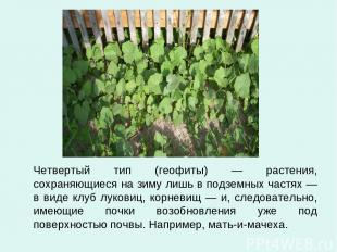 Четвертый тип (геофиты) — растения, сохраняющиеся на зиму лишь в подземных частя