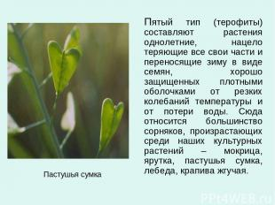 Пастушья сумка Пятый тип (терофиты) составляют растения однолетние, нацело теряю