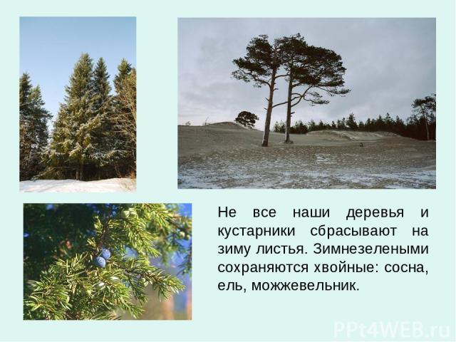 Не все наши деревья и кустарники сбрасывают на зиму листья. Зимнезелеными сохраняются хвойные: сосна, ель, можжевельник.
