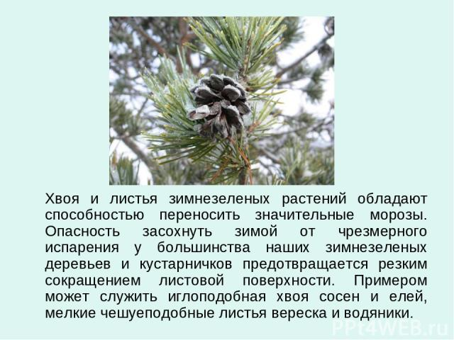 Хвоя и листья зимнезеленых растений обладают способностью переносить значительные морозы. Опасность засохнуть зимой от чрезмерного испарения у большинства наших зимнезеленых деревьев и кустарничков предотвращается резким сокращением листовой поверхн…