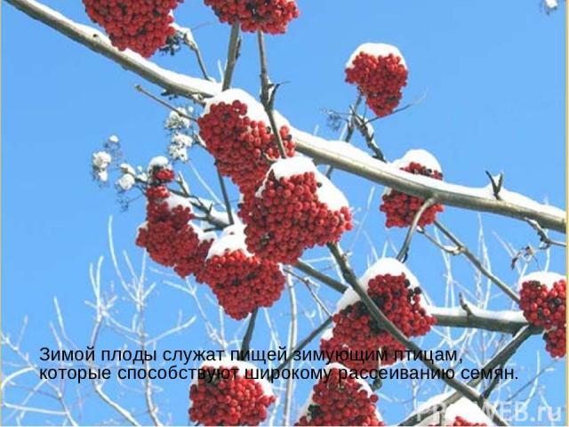 Зимой плоды служат пищей зимующим птицам, которые способствуют широкому рассеиванию семян.
