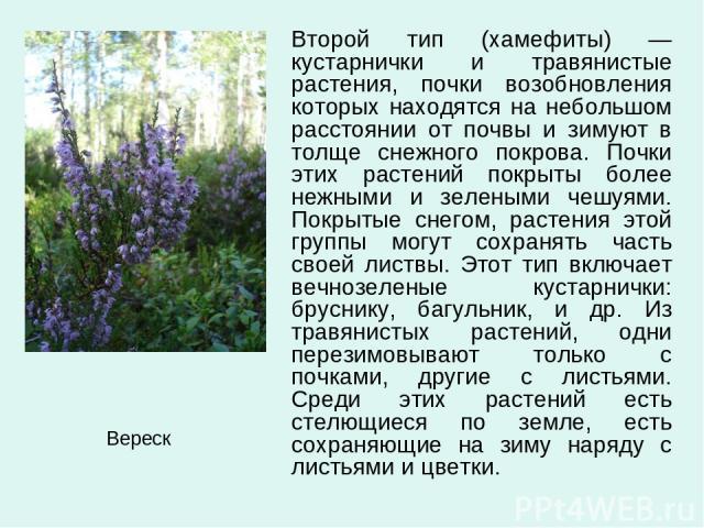 Второй тип (хамефиты) —кустарнички и травянистые растения, почки возобновления которых находятся на небольшом расстоянии от почвы и зимуют в толще снежного покрова. Почки этих растений покрыты более нежными и зелеными чешуями. Покрытые снегом, расте…