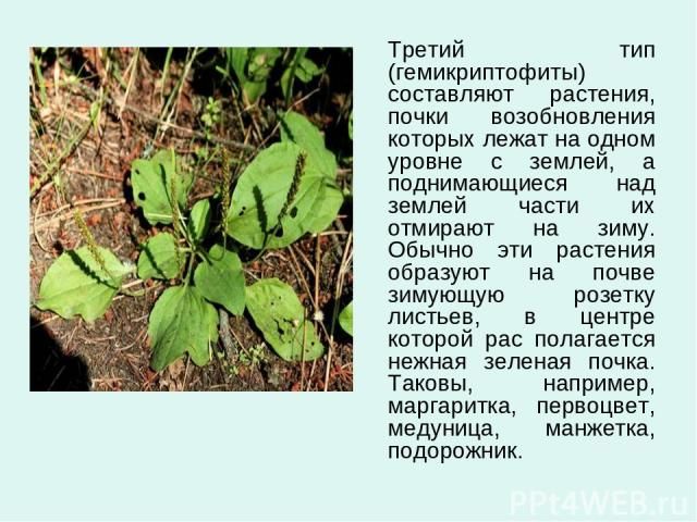 Третий тип (гемикриптофиты) составляют растения, почки возобновления которых лежат на одном уровне с землей, а поднимающиеся над землей части их отмирают на зиму. Обычно эти растения образуют на почве зимующую розетку листьев, в центре которой рас п…