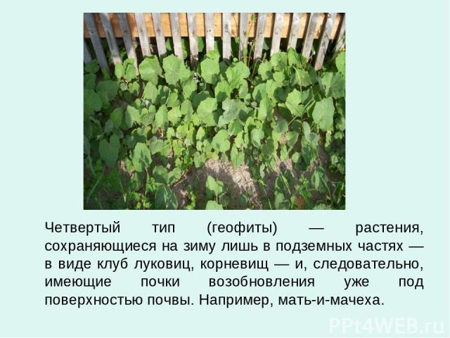 Четвертый тип (геофиты) — растения, сохраняющиеся на зиму лишь в подземных частях — в виде клуб луковиц, корневищ — и, следовательно, имеющие почки возобновления уже под поверхностью почвы. Например, мать-и-мачеха.