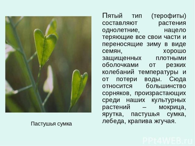 Пастушья сумка Пятый тип (терофиты) составляют растения однолетние, нацело теряющие все свои части и переносящие зиму в виде семян, хорошо защищенных плотными оболочками от резких колебаний температуры и от потери воды. Сюда относится большинство со…
