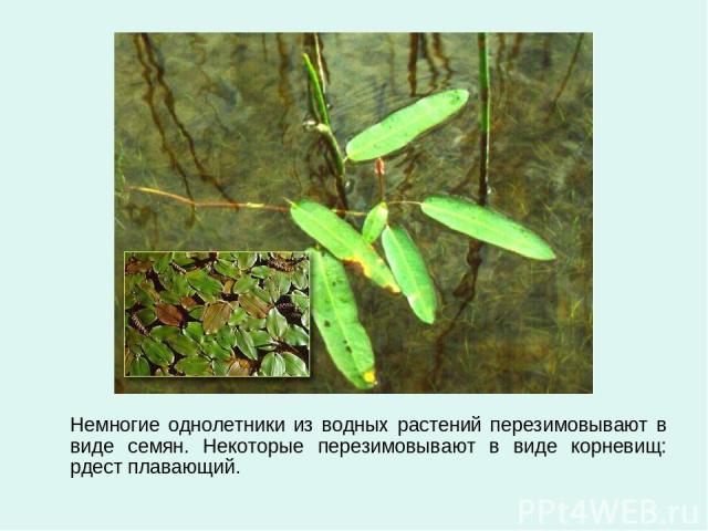 Немногие однолетники из водных растений перезимовывают в виде семян. Некоторые перезимовывают в виде корневищ: рдест плавающий.
