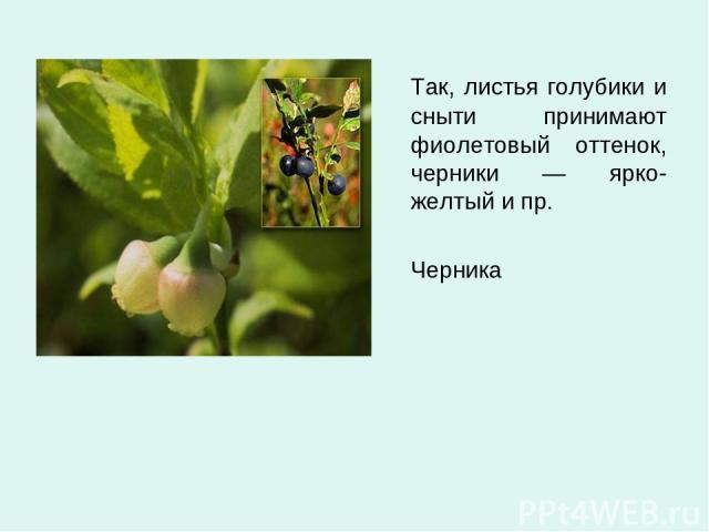 Так, листья голубики и сныти принимают фиолетовый оттенок, черники — ярко-желтый и пр. Черника