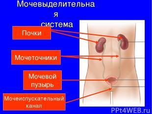 Мочевыделительная система Почки Мочеточники Мочевой пузырь Мочеиспускательный ка