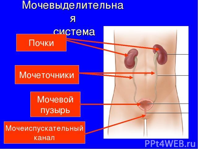 Мочевыделительная система Почки Мочеточники Мочевой пузырь Мочеиспускательный канал