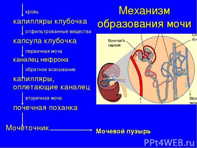 Механизм образования мочи кровь капилляры клубочка отфильтрованные вещества капсула клубочка первичная моча каналец нефрона обратное всасывание капилляры, оплетающие каналец вторичная моча почечная лоханка Мочеточник Мочевой пузырь