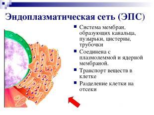 Эндоплазматическая сеть (ЭПС) Система мембран, образующих канальца, пузырьки, ци