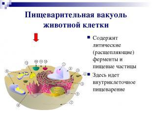 Пищеварительная вакуоль животной клетки Содержит литические (расщепляющие) ферме