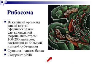 Рибосома Важнейший органоид живой клетки сферической или слегка овальной формы,
