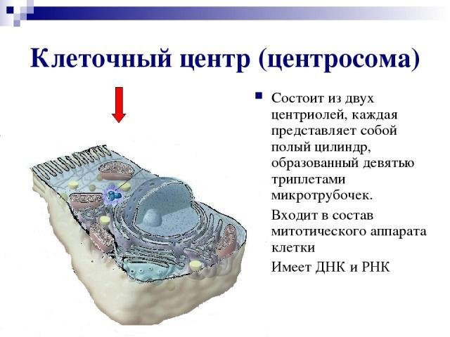 Клеточный центр (центросома) Состоит из двух центриолей, каждая представляет собой полый цилиндр, образованный девятью триплетами микротрубочек. Входит в состав митотического аппарата клетки Имеет ДНК и РНК