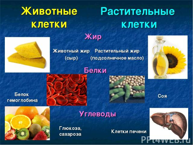 Животные клетки Растительные клетки Жир Растительный жир (подсолнечное масло) Животный жир (сыр) Белки Белок гемоглобина Соя Углеводы Глюкоза, сахароза Клетки печени