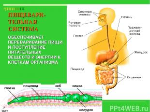 глотка пищевод зоб рот желудок кишка ПИЩЕВАРИ-ТЕЛЬНАЯ СИСТЕМА ОБЕСПЕЧИВАЕТ ПЕРЕВ