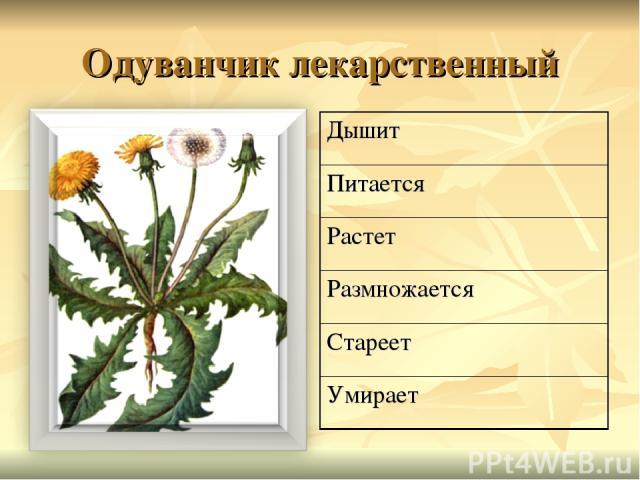 Одуванчик лекарственный