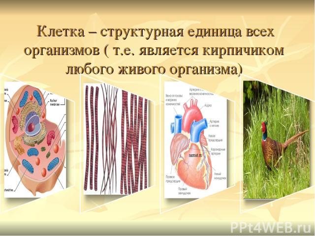 Клетка – структурная единица всех организмов ( т.е. является кирпичиком любого живого организма)