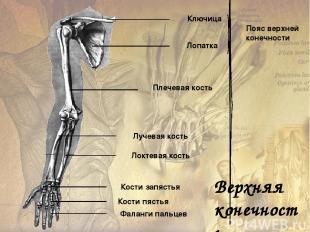 Тазовые кости Бедренные кости Большая берцовая кость Малая берцовая кость Предпл