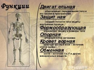 Скелет (skeletos – высохший) – совокупность твёрдых тканей в организме, служащих