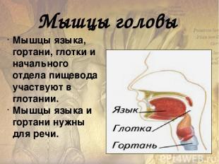 Мышцы тазового дна Поддерживают органы таза. Круговые волокна этих мышц охватыва