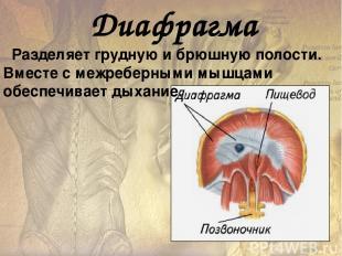 У человека хорошо развиты мышцы, удерживающие тело в разогнутом (вертикальном) п
