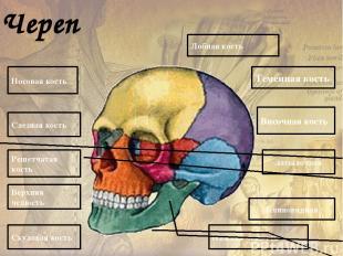 Истинные ребра Грудино-реберные суставы Хрящевые части ребер Ложные ребра Реберн