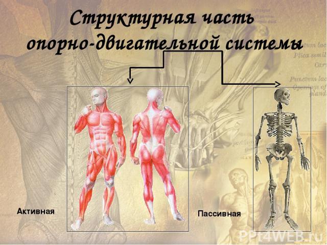 Тонус – состояние длительного удерживаемого незначительного напряжения мышц. Гиподинамия – малоподвижный образ жизни. Атрофия – потеря работоспособности в результате длительной бездеятельности мышц.