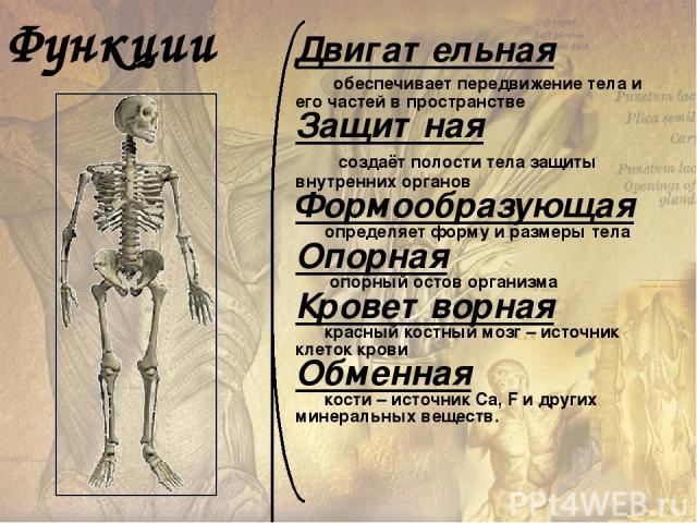 Скелет (skeletos – высохший) – совокупность твёрдых тканей в организме, служащих опорой тела или отдельных его частей и защищающих его от механических повреждений. Кость (os, ossis) – орган, основной элемент скелета позвоночных.