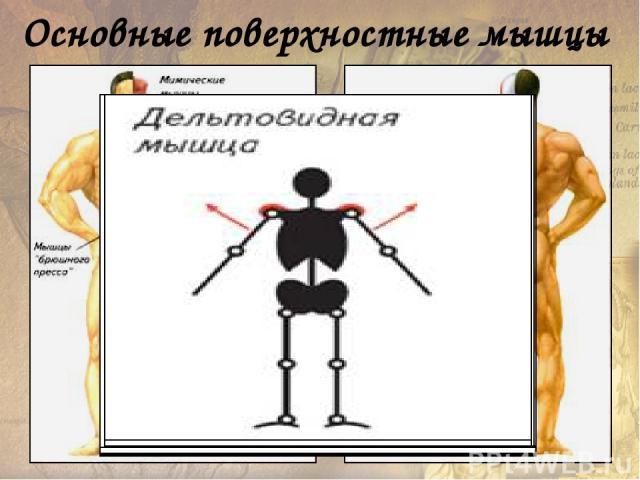 Некоторые соматические мышцы выполняют в организме функции, не связанные с движениями частей скелета. Эти мышцы имеют своеобразную форму, особое расположение и точки прикрепления. Однако по своему тканевому составу, микроскопическому строению, механ…