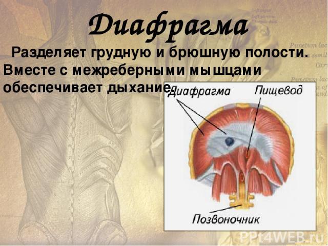 У человека хорошо развиты мышцы, удерживающие тело в разогнутом (вертикальном) положении. При расслаблении этих мышц тело сгибается под действием силы тяжести . Работа мышц