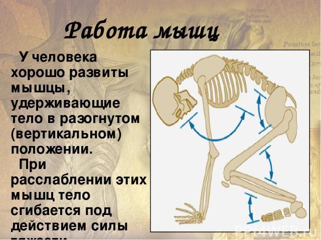 Работа мышц Статическая Динамическая A = F * S Величина работы зависит от силы мышц (F=mg) и их длины. Сила мышц прямо пропорциональна поперечному сечению всех мышечных волокон данной мышцы.