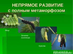 НЕПРЯМОЕ РАЗВИТИЕ с полным метаморфозом Яйцо Личинка (гусеница) Куколка Взрослое
