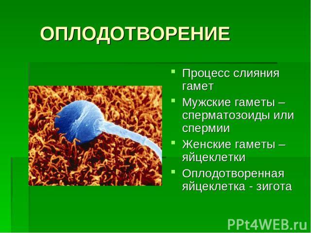 ОПЛОДОТВОРЕНИЕ Процесс слияния гамет Мужские гаметы – сперматозоиды или спермии Женские гаметы – яйцеклетки Оплодотворенная яйцеклетка - зигота